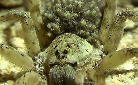Wolf Spider Mom & Babies! - Arctosa littoralis - female