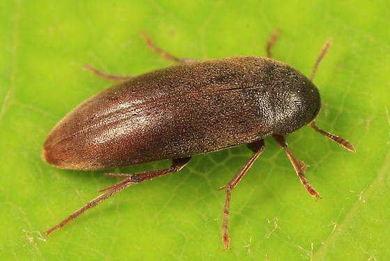 False Darkling Beetle - Orchesia