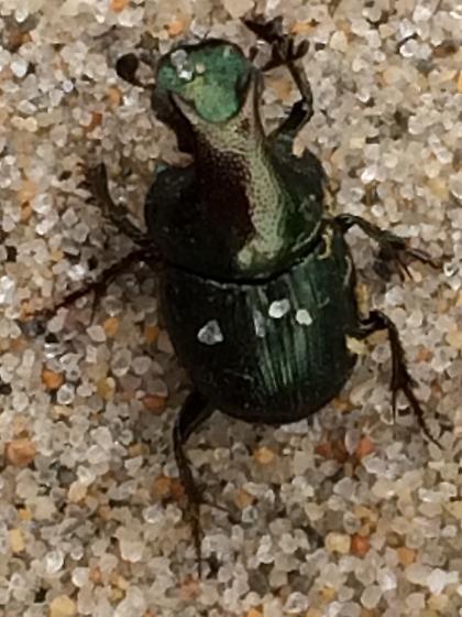 Onthophagus sp? - Onthophagus orpheus - male