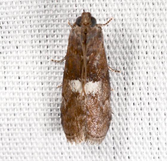 Salebriaria - Salebriaria engeli
