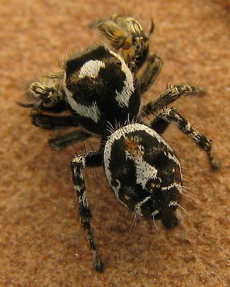 Could this be a male Phidippus comatus? - Phidippus comatus - male