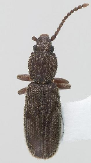 Airaphilus sp. - Airaphilus near-elongatus