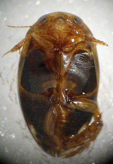 Laccophilus fasciatus