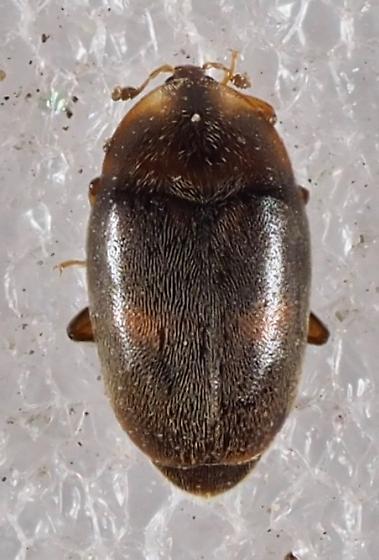 Unknown Beetle - Clypastraea