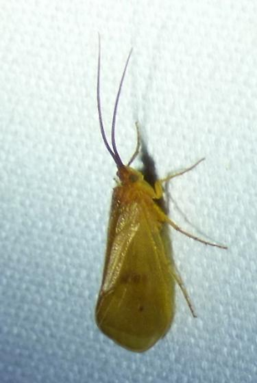 Family Limnephilidae - Northern Caddisflies - Pycnopsyche