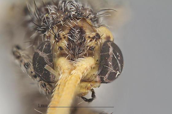 Lomamyia