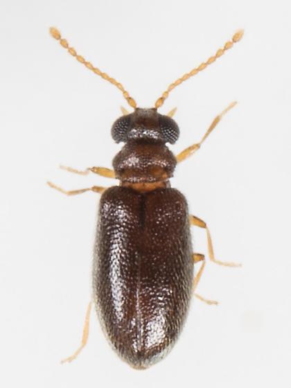 Beetle - Cnopus impressus