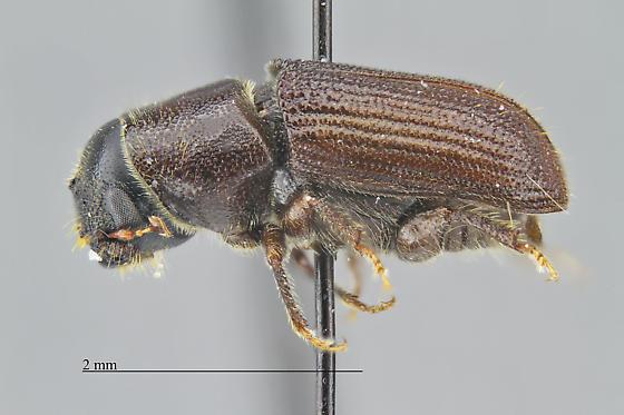 Scolytinae - Dendroctonus mexicanus