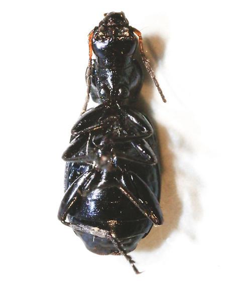 Unknown beetle - Philophuga viridis