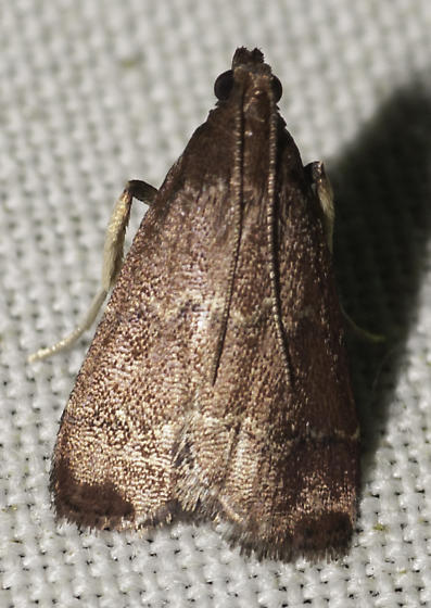 Is this a  Heliades? - Heliades mulleolella