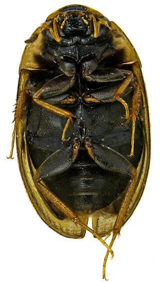Enochrus pygmaeus? - Enochrus