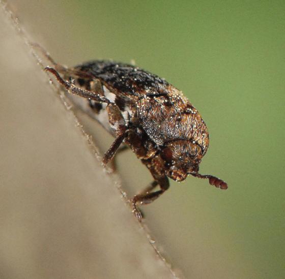 unknown bug - Dermestes talpinus
