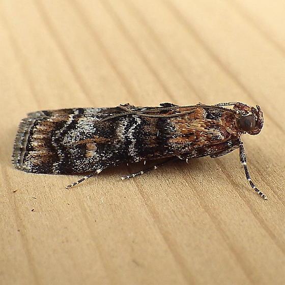Pyralidae: Dioryctria okanaganella - Dioryctria okanaganella