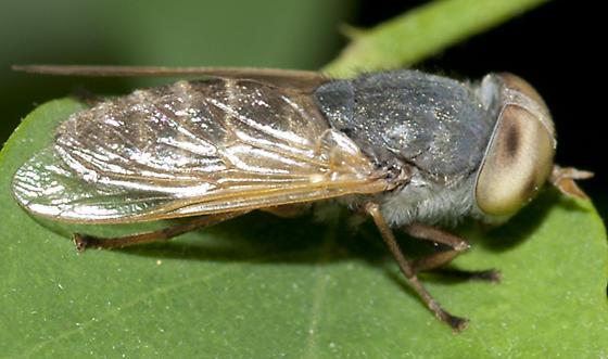 Horse Fly - Atylotus - female