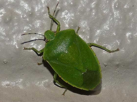 Shield Bug sp - Chinavia hilaris