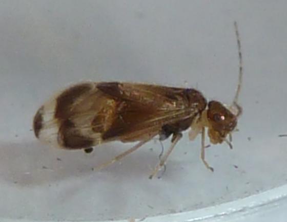 Unknown Barklouse - Polypsocus corruptus - female