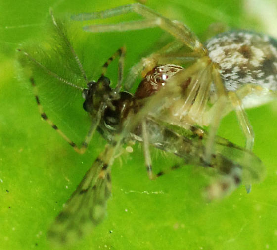 mesh web weaver - Emblyna - female