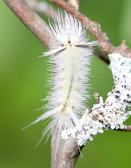 Tussock moth caterpillar - Halysidota tessellaris