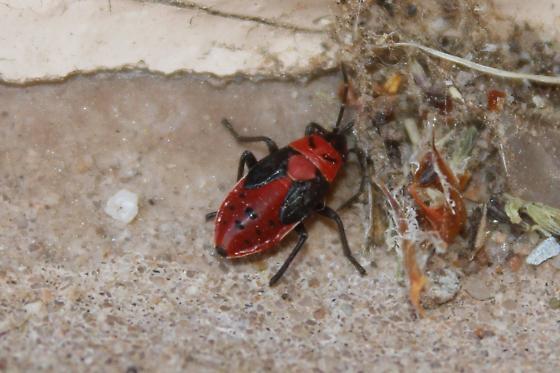 Insect - Lygaeus