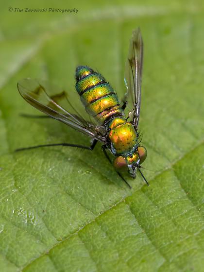 Small Fly - Condylostylus - female