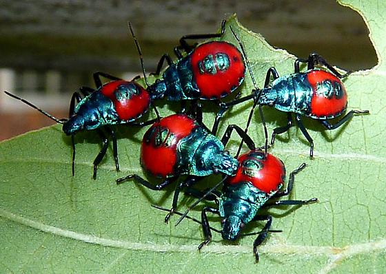 red & black insects - Euthyrhynchus floridanus