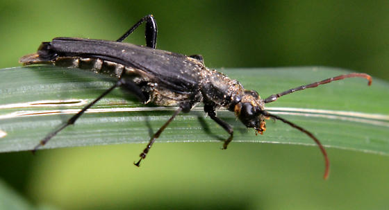 Long-horned beetle? - Bellamira scalaris