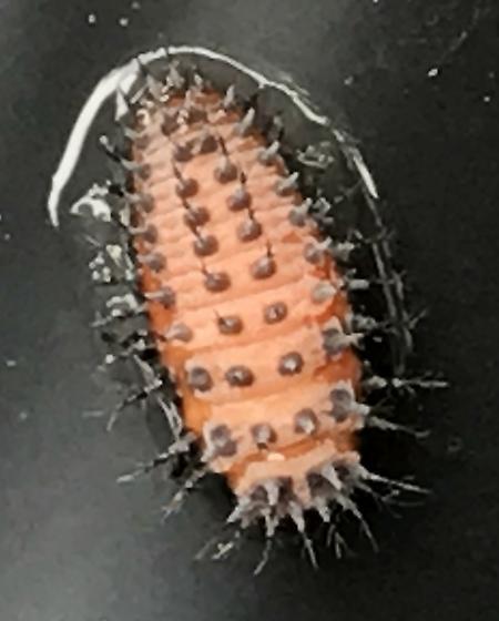 Unknown larva found swimming in hot tub
