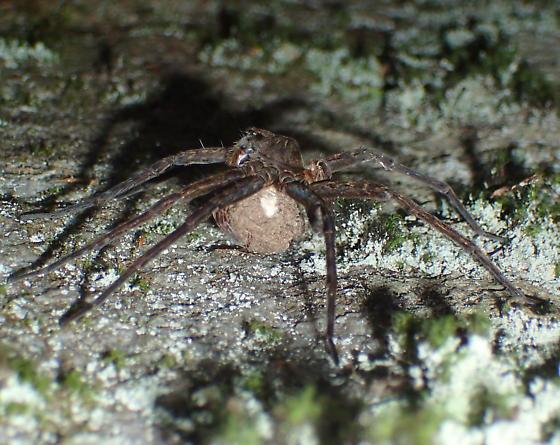 Dolomedes - Dolomedes vittatus - female