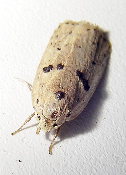 A dingy moth with five honest spots. - Scythropiodes issikii