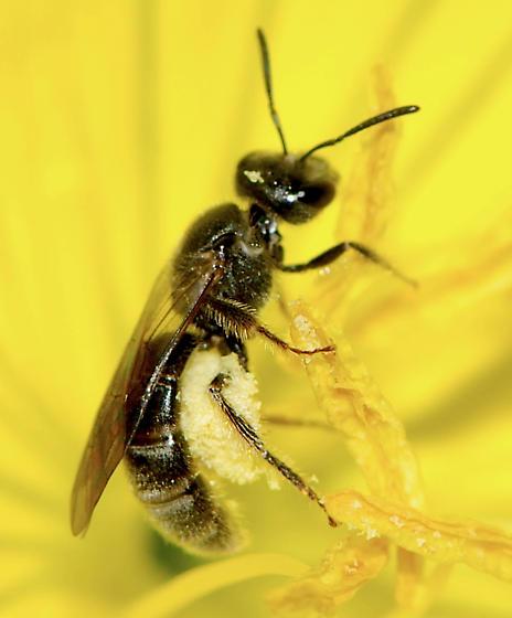 small bee-lasioglossum? - Lasioglossum oenotherae - female