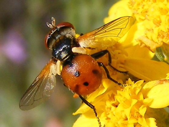 Ladybug mimic fly - Gymnosoma