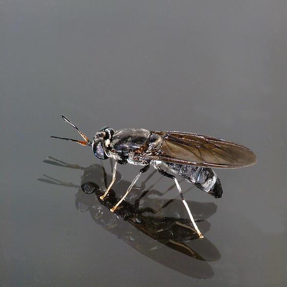 Hermetia illucens - Black Soldier Fly - Hermetia illucens