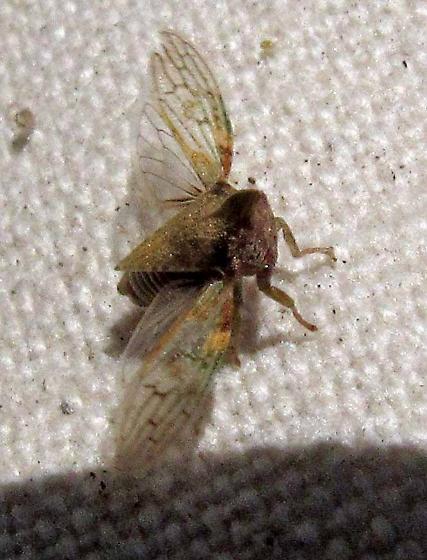 Platycotis tuberculata again? - Platycotis