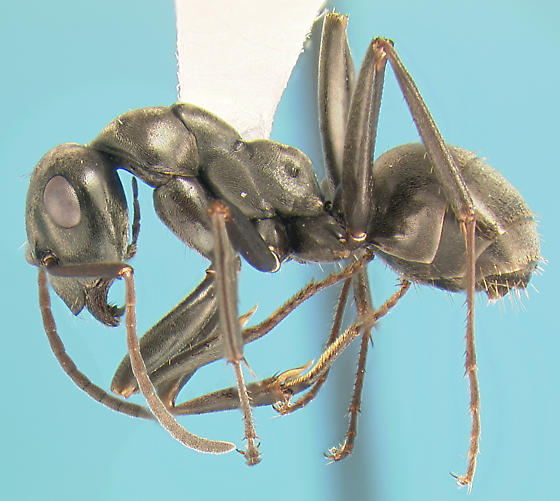 Ant host for Cremastocheilus - Formica subsericea