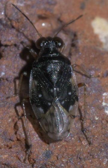 Small, black bug with big eyes - Micracanthia humilis