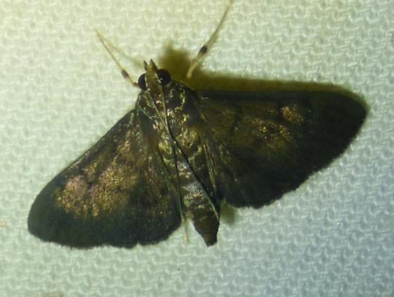 unknown moooth - Omiodes indicata