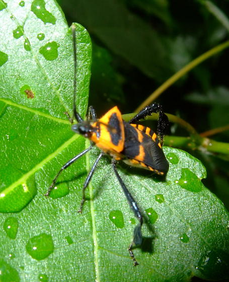 Possible Giant Milkweed Bug? - Leptoglossus ashmeadi
