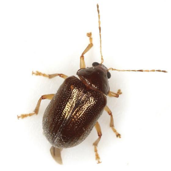Rhabdopterus