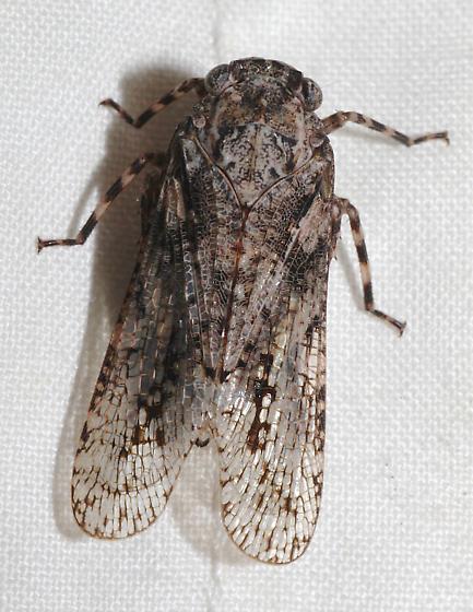 Cicada-like - Alphina glauca