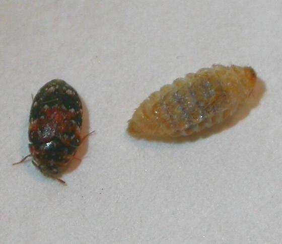 Beetle - Trogoderma anthrenoides
