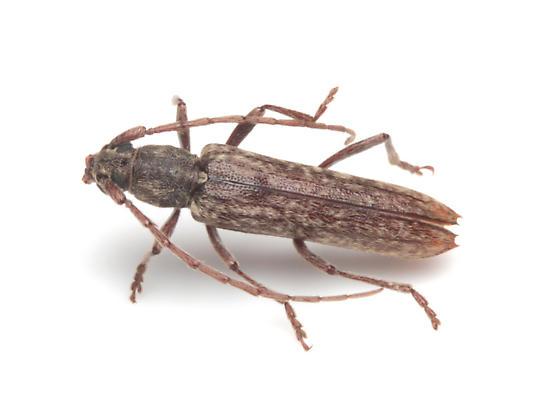 Cerambycidae - Anelaphus parallelus