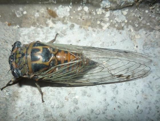 Cicada-which species?  - Hadoa texana