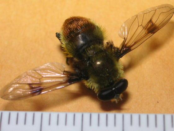 Arctophila flagrans (Syrphidae) in the Colorado Rockies - Sericomyia flagrans