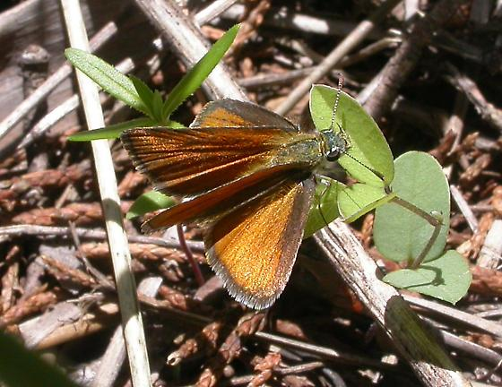 Edwards's Skipperling - Oarisma edwardsii