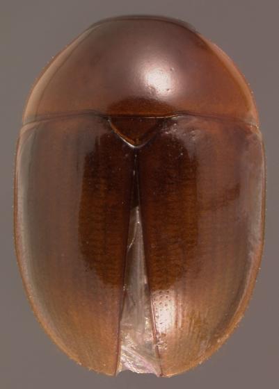 Phalacropsis dispar (LeConte) - Phalacropsis dispar
