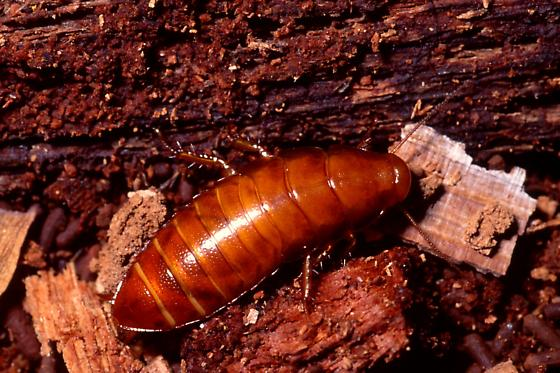 Brown-hooded Cockroach - Cryptocercus garciai