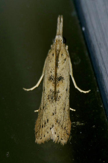 Texas SE Gulf Coast - Macrorrhinia endonephele
