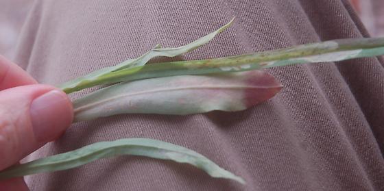 Lake Crabtree leaf miner on Krigia dandelion D1422 2019 3 - Liriomyza taraxaci
