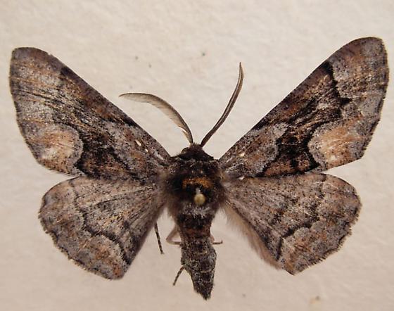 Moth 2 - Phaeoura mexicanaria - male