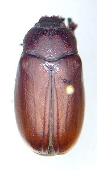 Phyllophaga rugosa - male